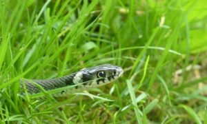 snake-in-the-grass